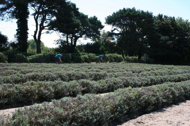 Sprigs Lavender Farm, Jersey