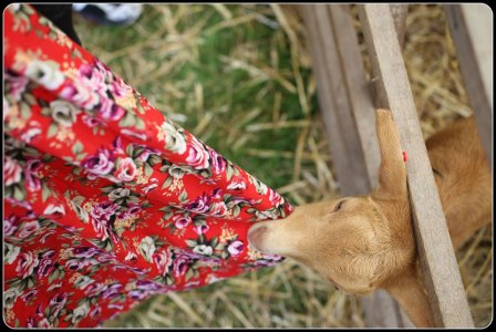 Day 27 goat eating dress